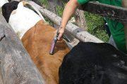 28,8 millones de bovinos en Colombia fueron inmunizados contra la aftosa
