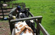 El próximo 10 de mayo iniciará el primer ciclo de vacunación 2021 contra la fiebre aftosa, brucelosis bovina