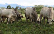 Los Wayuu comienza a proyectar arreglos silvopastoriles para disminuir las afectaciones por el pastoreo extensivo