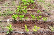 Resultados prometedores arroja proyecto de fríjol común de sequía para el Caribe financiado por el gobierno de Corea