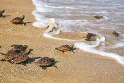 Corpoguajira fortalece acciones para la conservación del caimán aguja y tortuga marina