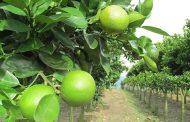 El ICA en La Guajira ha realizado 214 visitas de inspección y vigilancia fitosanitaria en cultivos cítricos