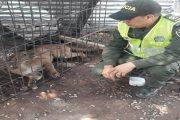 Puma atemorizó comunidad de Agustín Codazzi, Cesar
