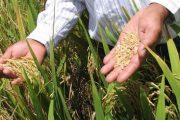 Transferidos recursos para el pago del incentivo a la comercialización del arroz