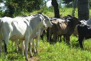 El ICA, productores y autoridades en Codazzi, Cesar, trabajan en equipo por el negocio ganadero