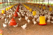 Granjas avícolas que no estén certificadas en bioseguridad, no podrán movilizar sus animales