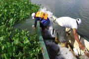 Más de 350 mil alevinos fueron sembrados en la ciénaga de Sahaya