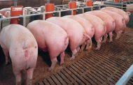 Fortalecen acciones en el Cesar, en pro de la sanidad de la producción porcina