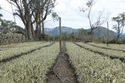 Páramos de la serranía del Perijá, plantados con 300 mil fraijelones