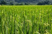 El llamado a productores para registrar su intención de siembra de arroz para el 2020