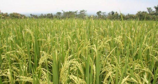 Hasta el 30 de mayo se amplió el plazo para registro de intención de siembra de arroz