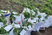 El Ejército halló en La Guajira cerca de tonelada y media de marihuana