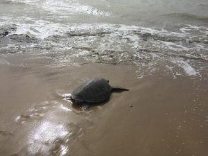 Liberadas dos tortugas marinas en Manaure (La Guajira)