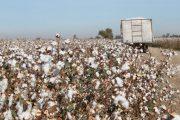 Destinan $ 3.250 millones para el incentivo a la comercialización y siembra de algodón