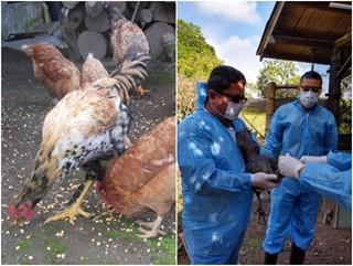 El ICA y Fenavi realizarán jornada de vacunación contra el Newcastle en aves de traspatio