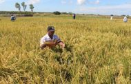 Departamentos de Colombia recibirán 14 toneladas de semillas biofortificadas