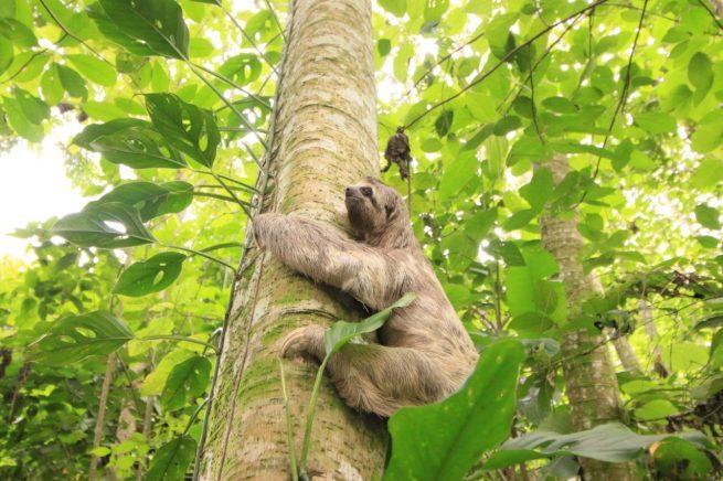 Liberado oso perezoso de tres dedos que  fue decomisado por la Policía Ambiental