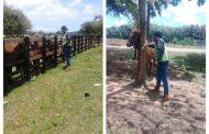 La vacunación de 150 équidos contra la EEV, protege la salud animal en La Guajira