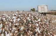 En marcha incentivos para el cultivo de algodón por cerca de $ 3.000 millones