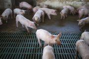 Curso de implementadores de buenas prácticas ganaderas en la producción porcícola