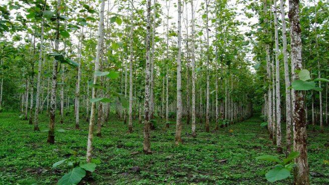 Minagricultura está recibiendo proyectos de reforestación comercial para acceder al CIF