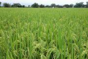 Llamado a arroceros para que los productores de arroz no superen las 520.000 hectáreas sembradas en 2021