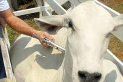 Campaña antiaftosa ha vacunado el 34,5 % del hato bovino nacional