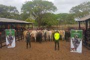 Operación Centauros permitió la captura de 6 personas por contrabando de ganado