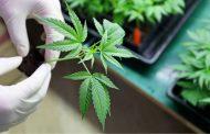 La ONU reconoce oficialmente las propiedades medicinales del cannabis