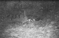 Felinos, los primeros animales avistados en áreas protegidas de Cerrejón en el 2021