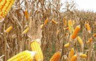 Semilla certificada, la mejor inversión para productores de maíz