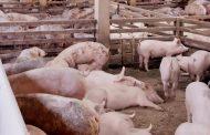 Qatar y Macao: nuevas admisibilidades para el sector ganadero y porcícola de Colombia