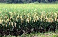 Inició proceso de registro de intención de siembra de arroz para 2021