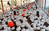 El ICA adelantará mesas de trabajo con actores de la cadena avícola sobre la nueva normatividad para el sector