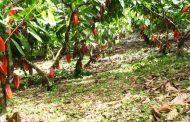 La inversión de $ 20.500 millones en el Plan Nacional de Renovación de Cacao
