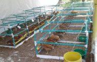 Uniguajira impulsa proyecto experimental con gallinas ponedoras y tilapia roja