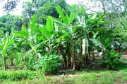 El ICA declaró la región de Urabá libre de Fusarium Raza 4 Tropical
