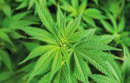 Colombia exportará semilla de cannabis no psicoactivo al Reino Unido