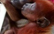 Caza y comercialización de monos aulladores está provocando desequilibrio ambiental en La Guajira