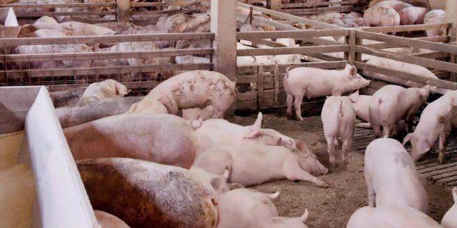 Porcicultores y avicultores continúan sintiendo el efecto del paro y bloqueo de vías