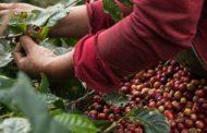 La cosecha cafetera para el 2021 podría cerrar en $ 10 billones, dice MinAgricultura