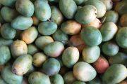 Mango colombiano a un paso de ingresar al mercado de EE.UU.