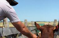 Ciclo I de vacunación ha logrado inmunizar 2,5 millones de animales contra la fiebre aftosa