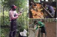 En Colombia han vacunado contra aftosa 13,2 millones de animales