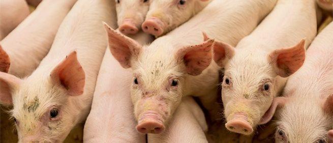 OIE certifica nueva zona libre de Peste Porcina Clásica en Colombia
