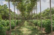 En el Cesar se busca predio para plantaciones forestales comerciales