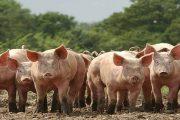 Colombia es libre de coronavirus respiratorio porcino y del virus de gastroenteritis transmisible en porcinos
