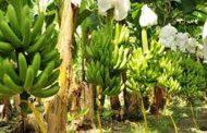 En Dibulla, el ICA hace seguimiento a predios productores de banano para exportación