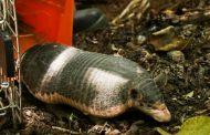 Corpocesar y Cortolima liberaron 135 especímenes de fauna silvestres en el Cesar