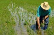 Instan a empresas molineras que no se han sumado al incentivo al almacenamiento del arroz a vincularse
